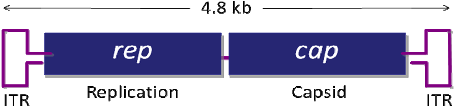 AAV基因组结构