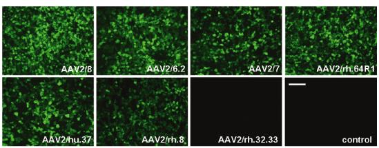 AAV感染肝脏